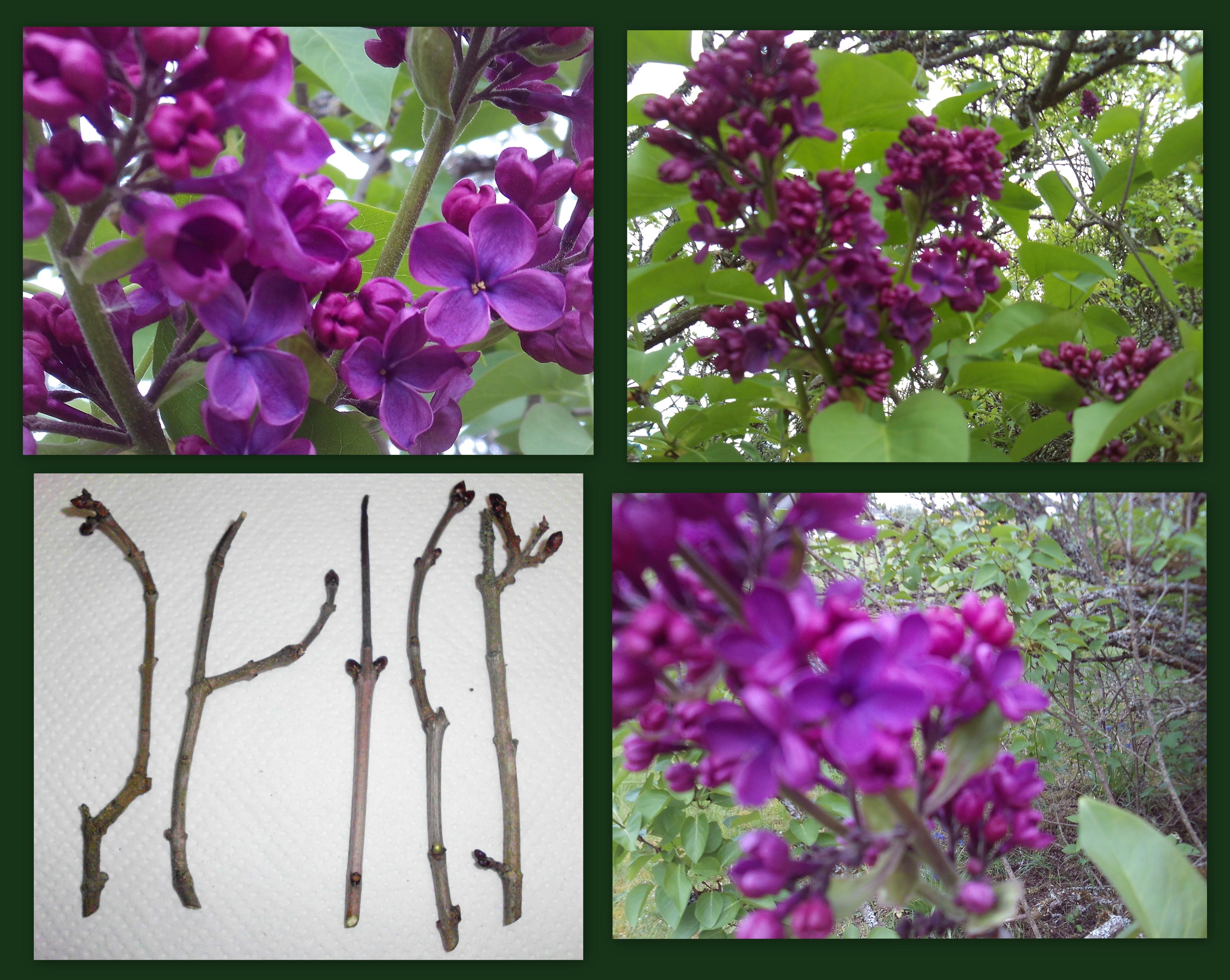 dark-purple-lilac