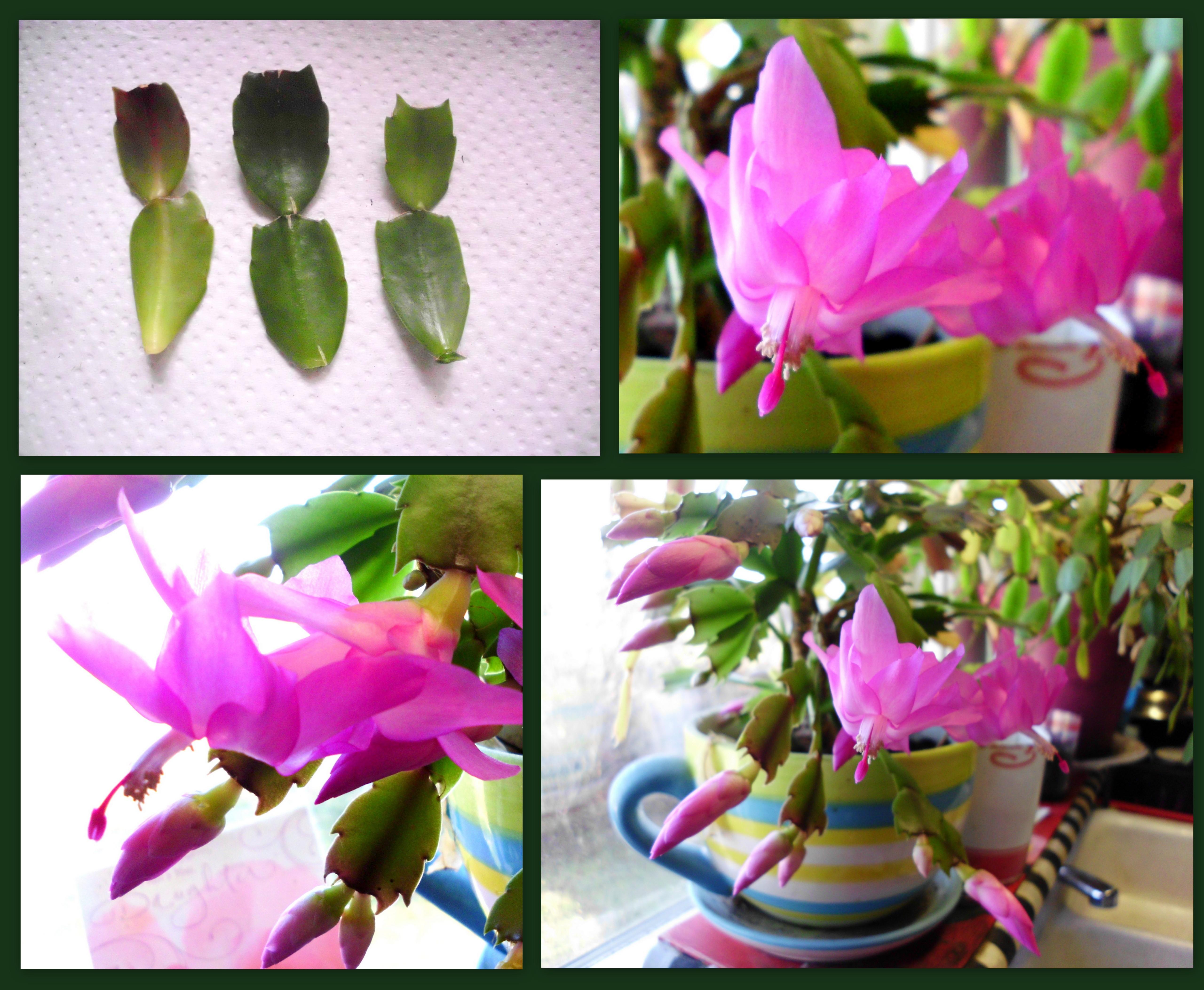 hot-pink-christmas-cactus