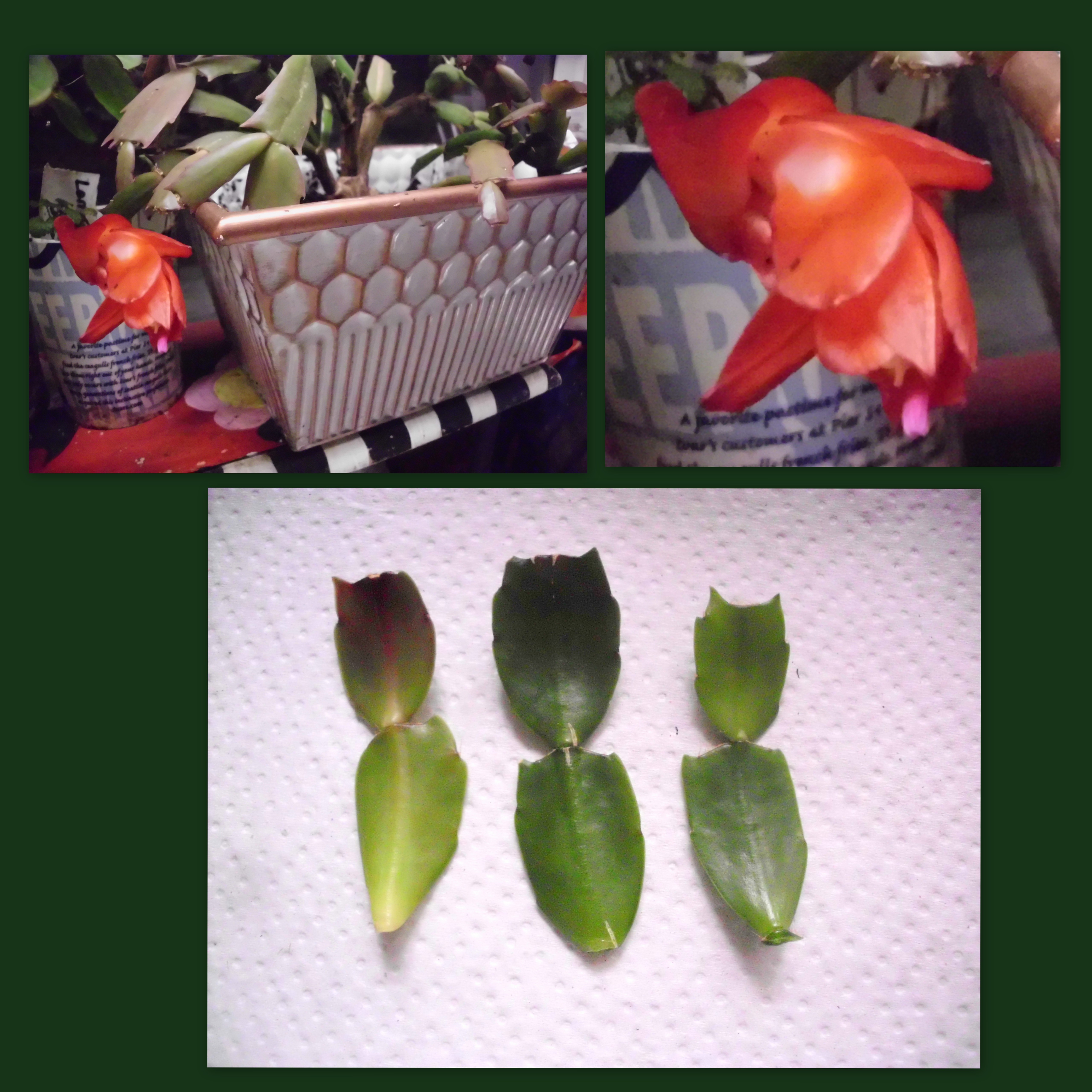 red-christmas-cactus