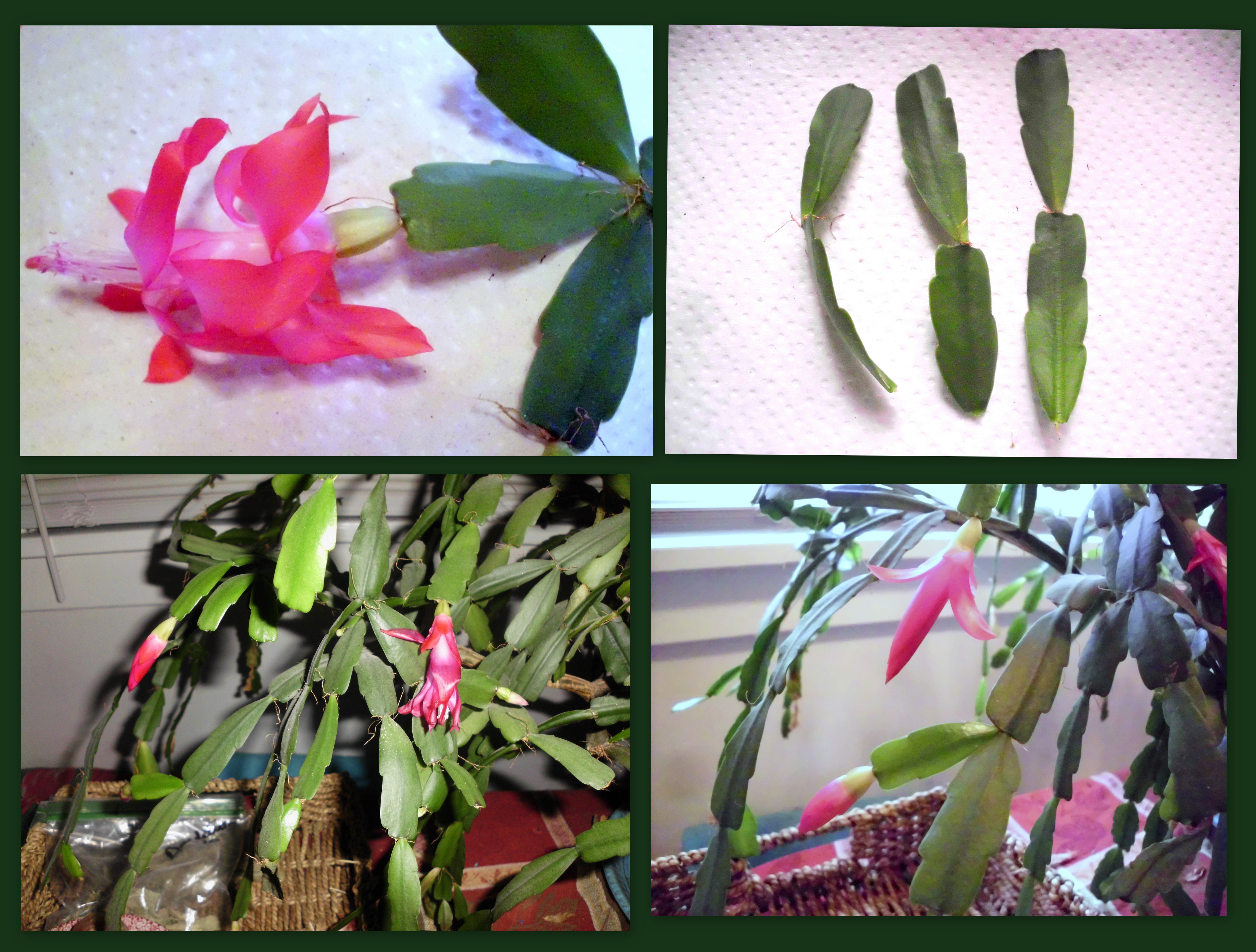 reddish-pink-christmas-cactus